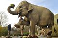 「妊婦体操」に励む臨月のゾウ、独ミュンヘン