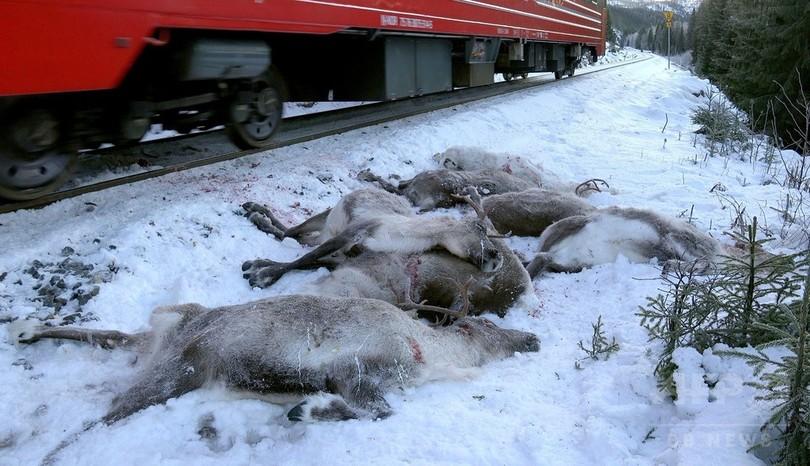 クリスマス前の悲劇…列車と衝突しトナカイ100頭以上死ぬ ノルウェー