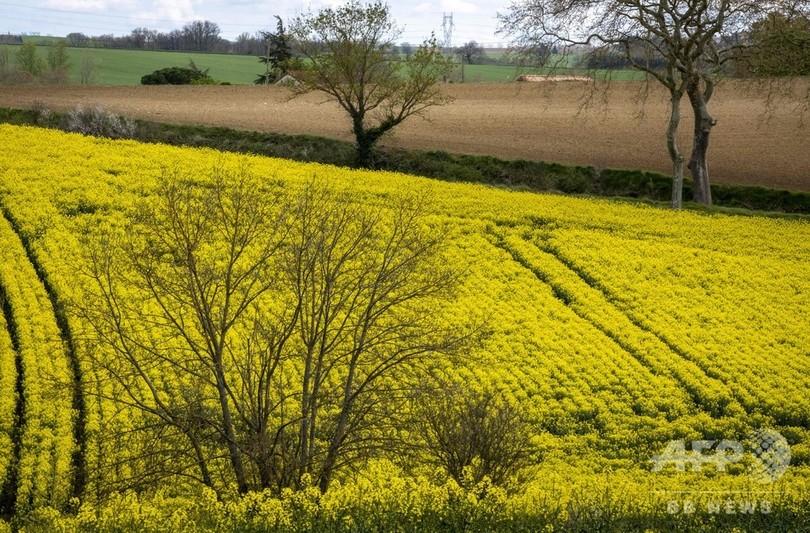 絵画のような一面の菜の花畑 南仏