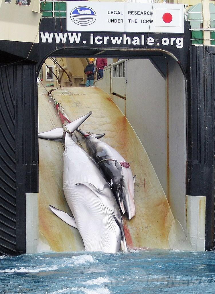 日本の調査捕鯨の正当性、国際法廷が31日に判決へ