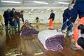 日本とノルウェーの捕鯨産業への巨額補助を批判、WWF