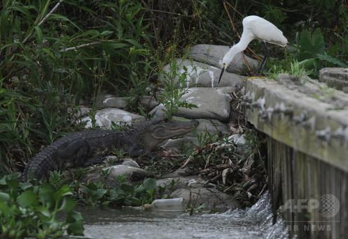 水鳥とアリゲーターの危険な取引、米研究