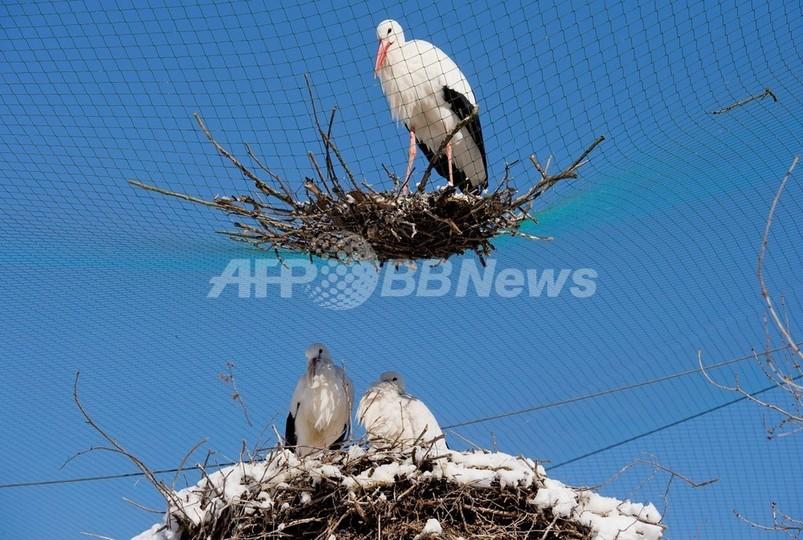 コウノトリの巣、2階建て?