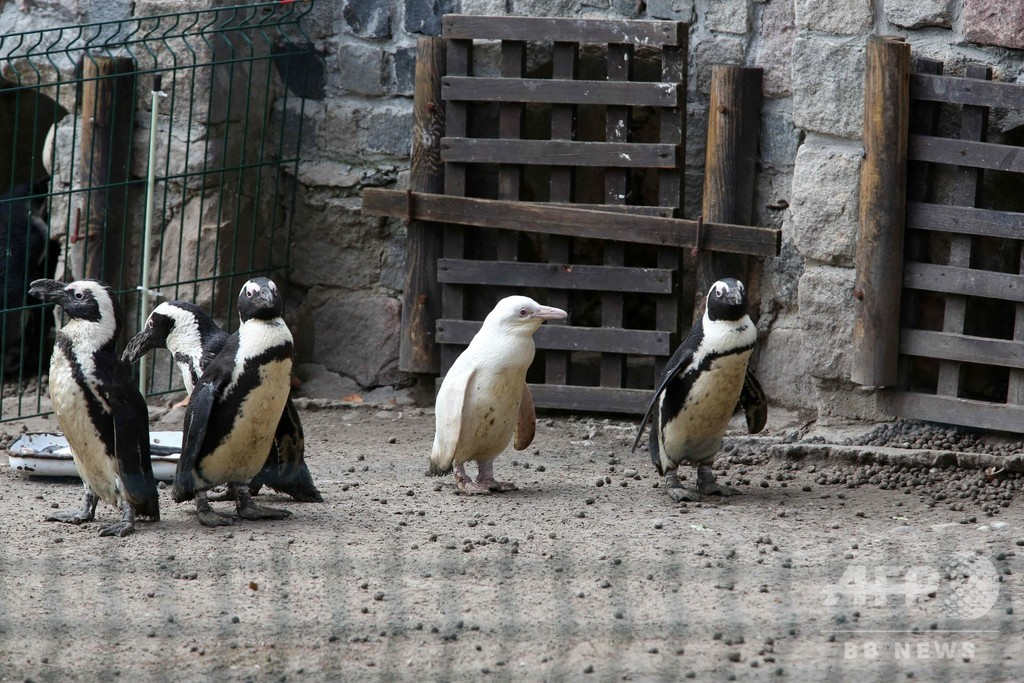 希少なアルビノの赤ちゃんペンギン、ポーランドの動物園で一般公開