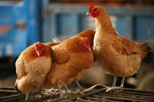 鳥インフルH7N9型で「ヒト・ヒト感染」を初確認か、中国研究チーム