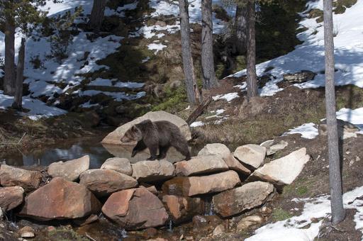 再導入されたヒグマ、馬を殺す「異常な捕食行動」 ピレネー山脈