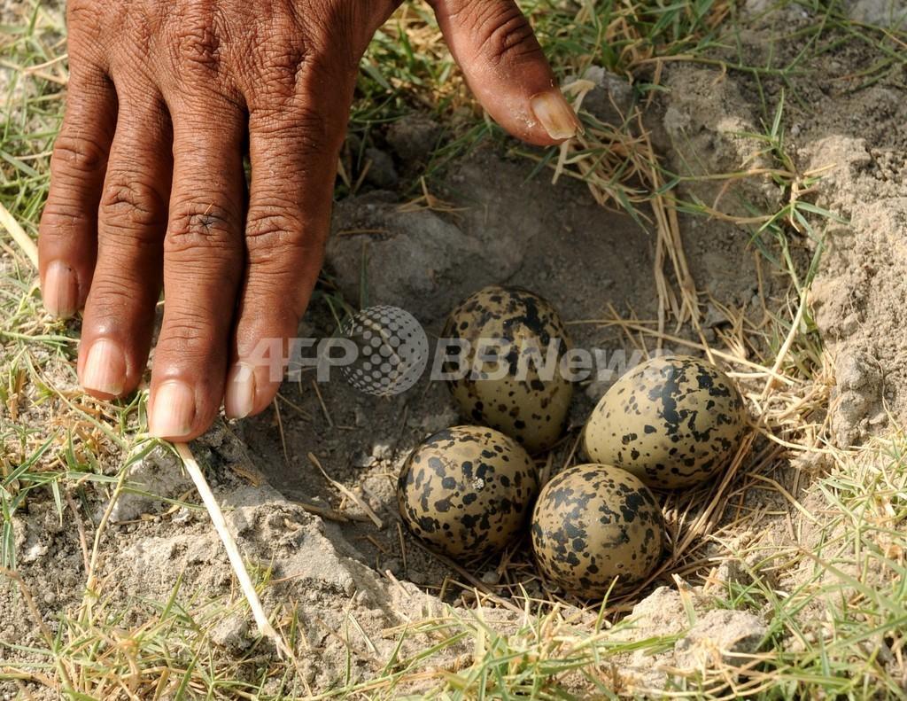 卵を多く産み仮親だます、カッコウの執念深い托卵行動が判明