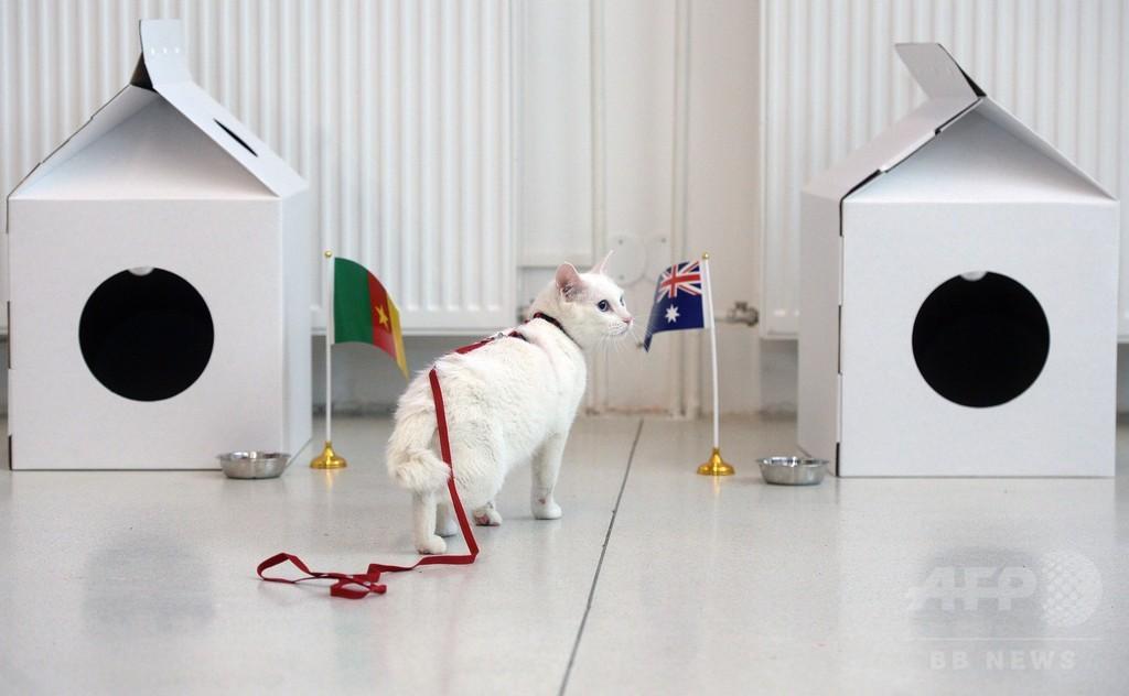 ロシアW杯の「予言者」、耳が聞こえない白猫「アキレス」に決定