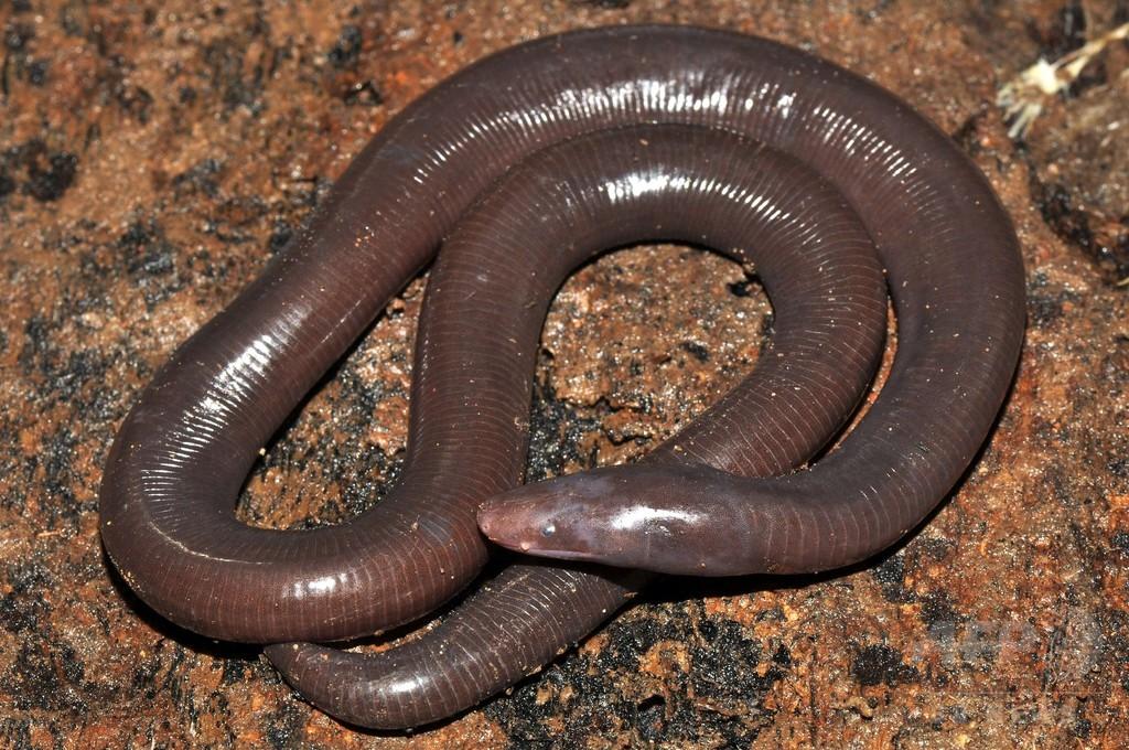 巨大ミミズ似の両生類、新種のアシナシイモリと確認 カンボジア