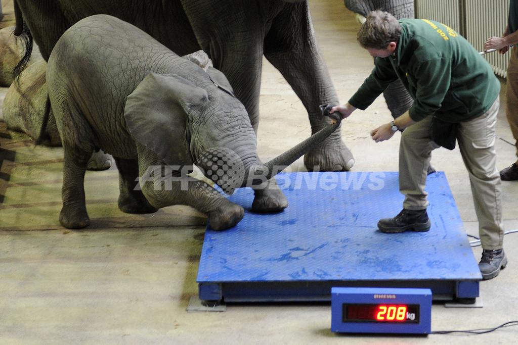 体重はかるのいやだゾウ!独動物園で身体測定