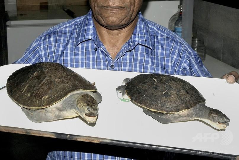 パプアニューギニアで淡水ガメの新種発見