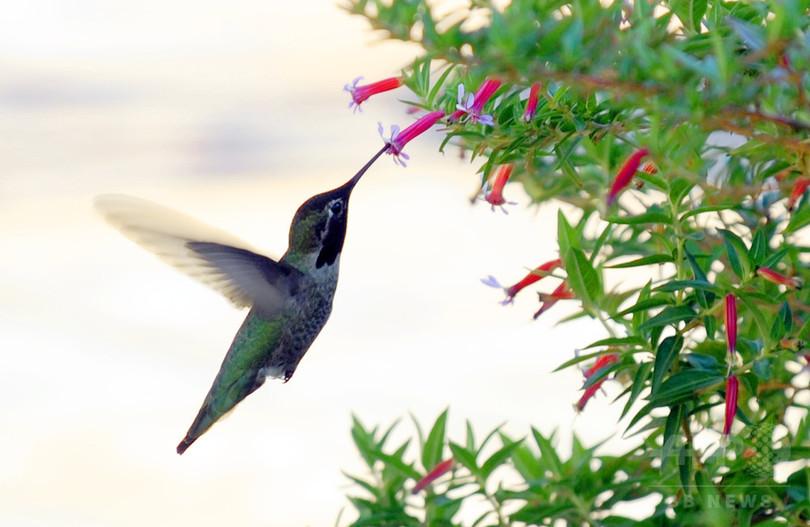 ハチドリ、餌より日陰探しに必死? 温暖化による猛暑で苦境に 研究
