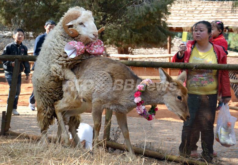 「相思相愛」の雄ヒツジと雌ジカ、バレンタインデーに「結婚」 中国