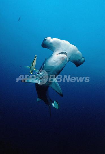 サメ類の国際取引規制案、1種のみ可決 ワシントン条約締約国会議