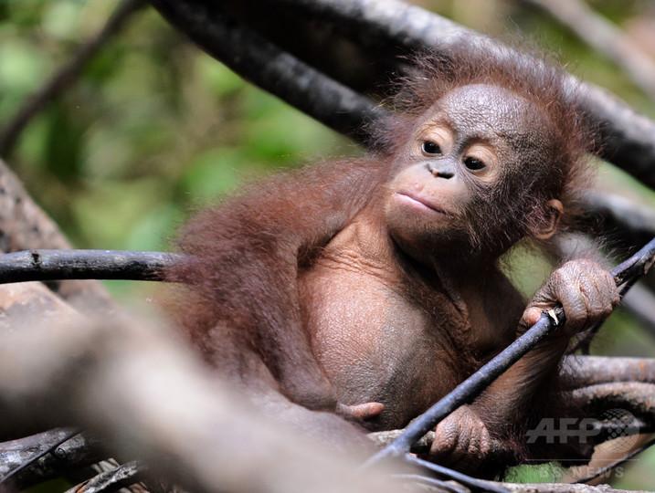 ボルネオ島のオランウータン、森林消失で激減 研究