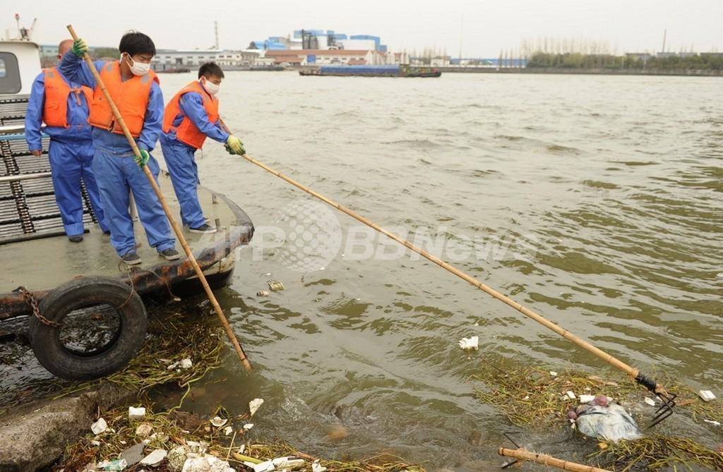 上海ブタ大量死、死骸1万3000匹以上回収