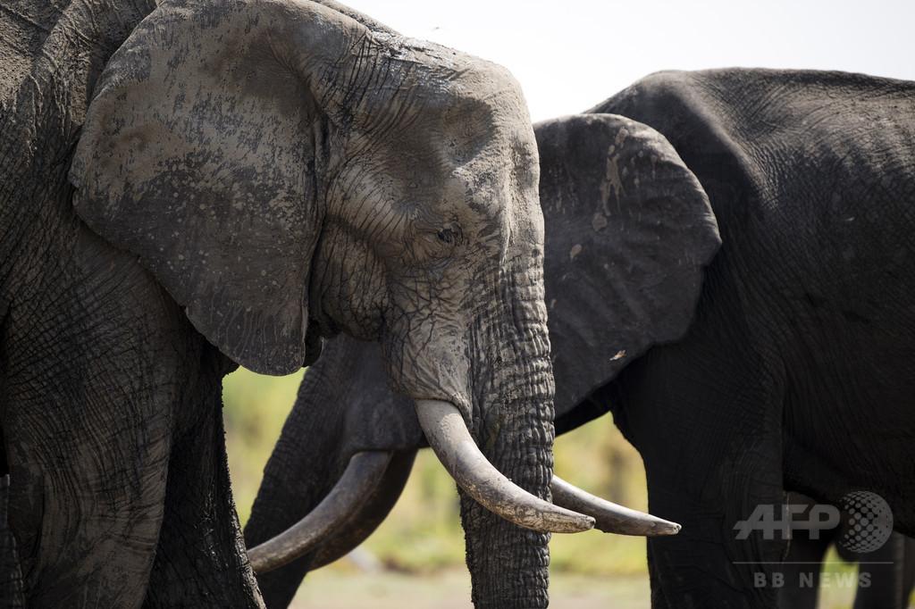 ジンバブエでゾウ毒殺相次ぐ、2か月で40頭犠牲