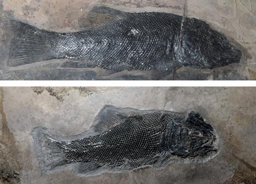 世界で最も完全な「全骨類」魚類の進化系統樹を作成