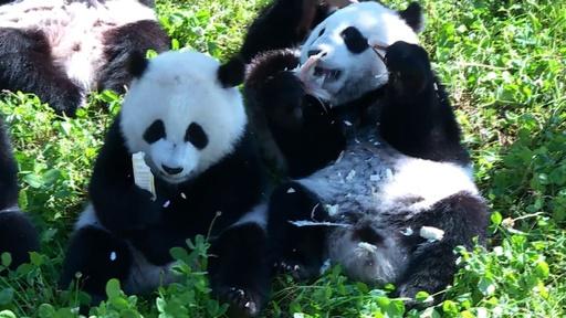 動画:中国のパンダ保全でギネス認定 野生・飼育個体間で繁殖、双子育つ