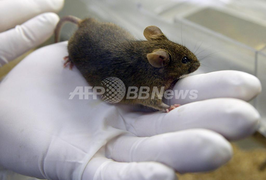 男性用経口避妊薬の開発に一歩前進、マウス研究