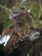 テディベア似の新種小動物、南米の森で発見