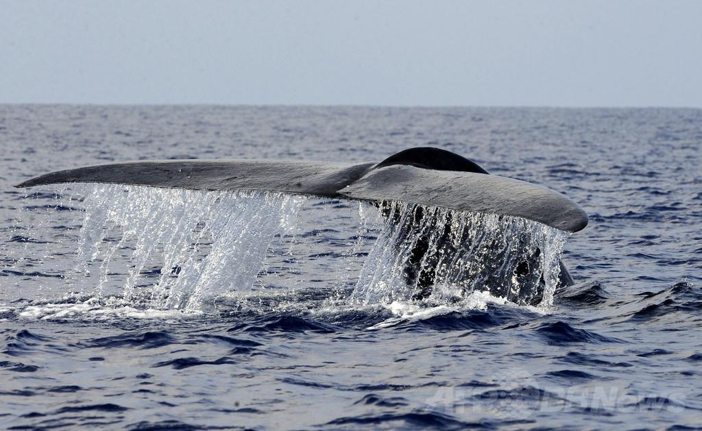 カナダ海岸でクジラ爆発を心配する声、メタンガスで2倍に膨張