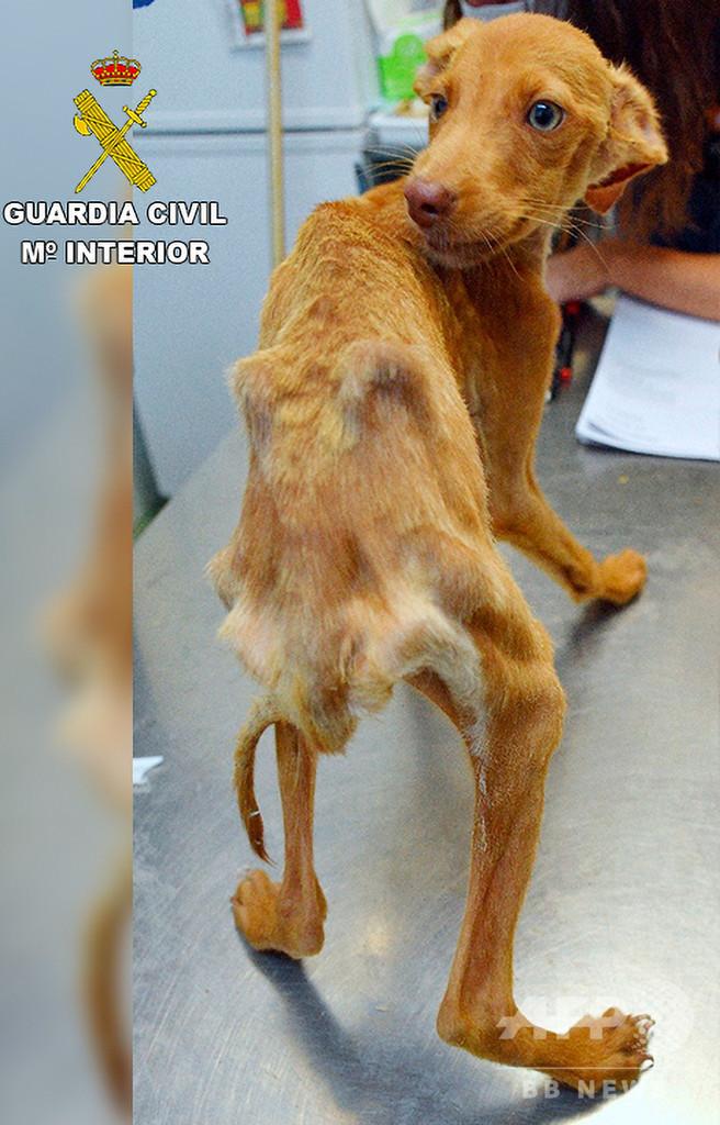 飢えて痩せこけた犬41頭、農場から救出 スペイン