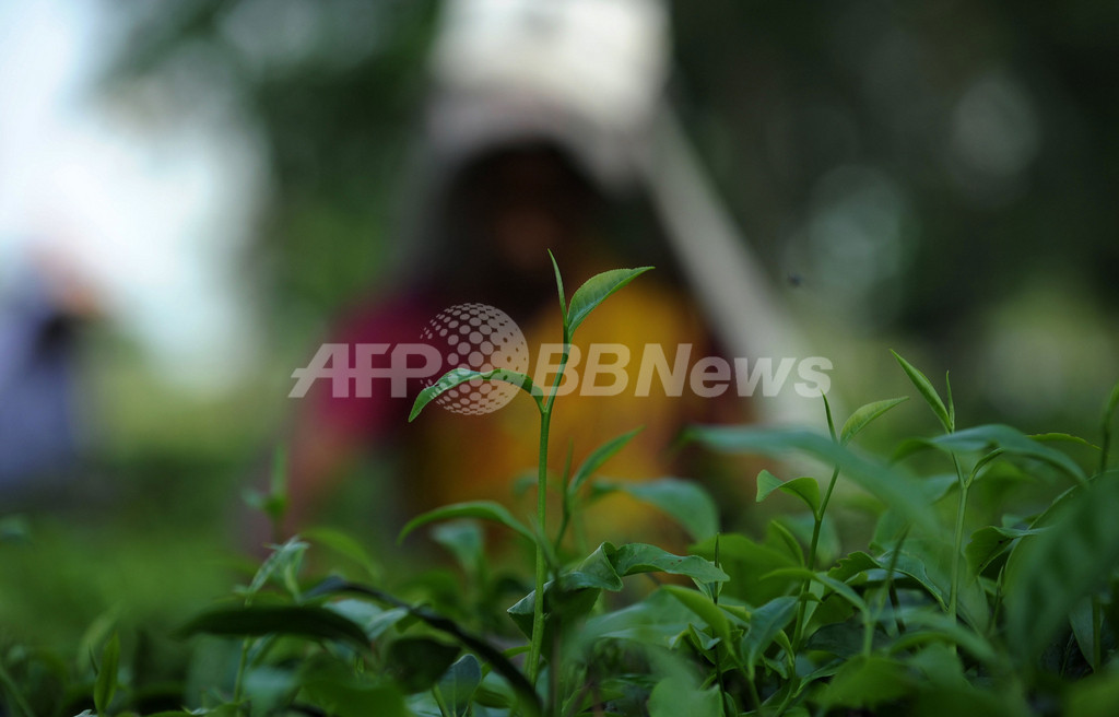 4県で茶葉の出荷停止、規制値超える放射性セシウム検出