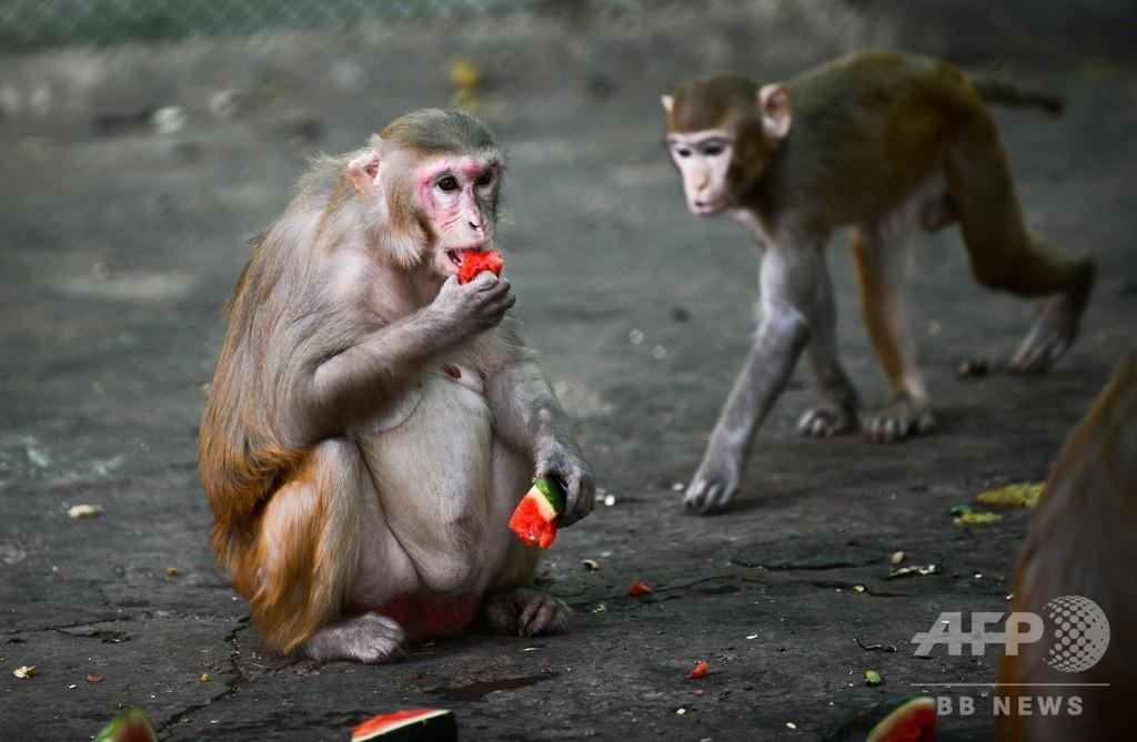 新型コロナ、自然感染とワクチンで免疫獲得 サル実験で確認