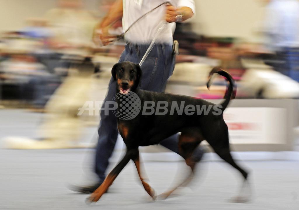 イヌの「断耳」禁止へ、カナダ・マニトバ州