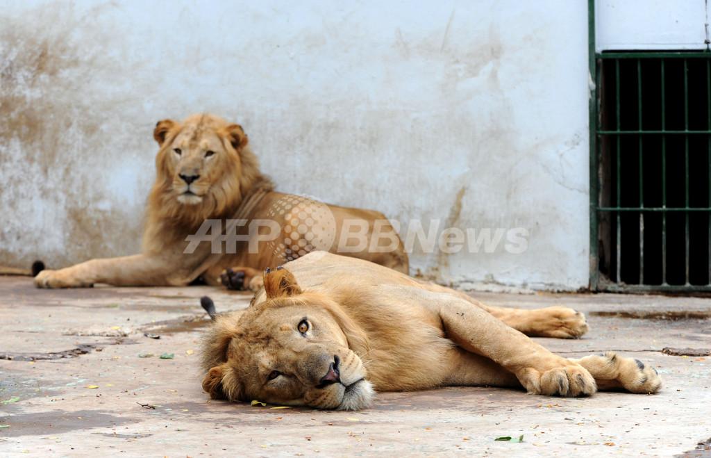 生まれて四半世紀のダカール動物園、若返り計画 セネガル