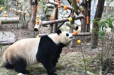 成都のパンダ基地で新春のイベント フルーツが盛りだくさん