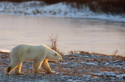 海氷融解でホッキョクグマの獲物確保が困難に、カナダ環境省諮問機関