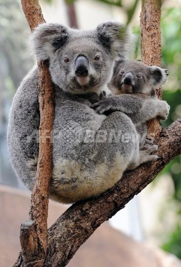 オーストラリア政府、一部地域のコアラを絶滅危惧種に指定へ