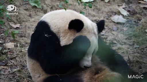 動画:【パンダフル】残さず食べる良い子