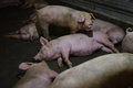 新型豚インフルの流行懸念、中国は重大視しない姿勢
