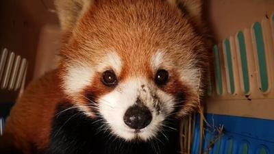 動画:ラオスでレッサーパンダ保護、希少種の闇取引に懸念
