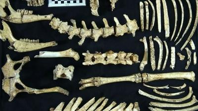 動画:先史時代のシカ化石、アルゼンチンで発見