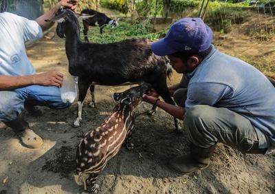 バクの赤ちゃん、ヤギが授乳 ニカラグア動物園