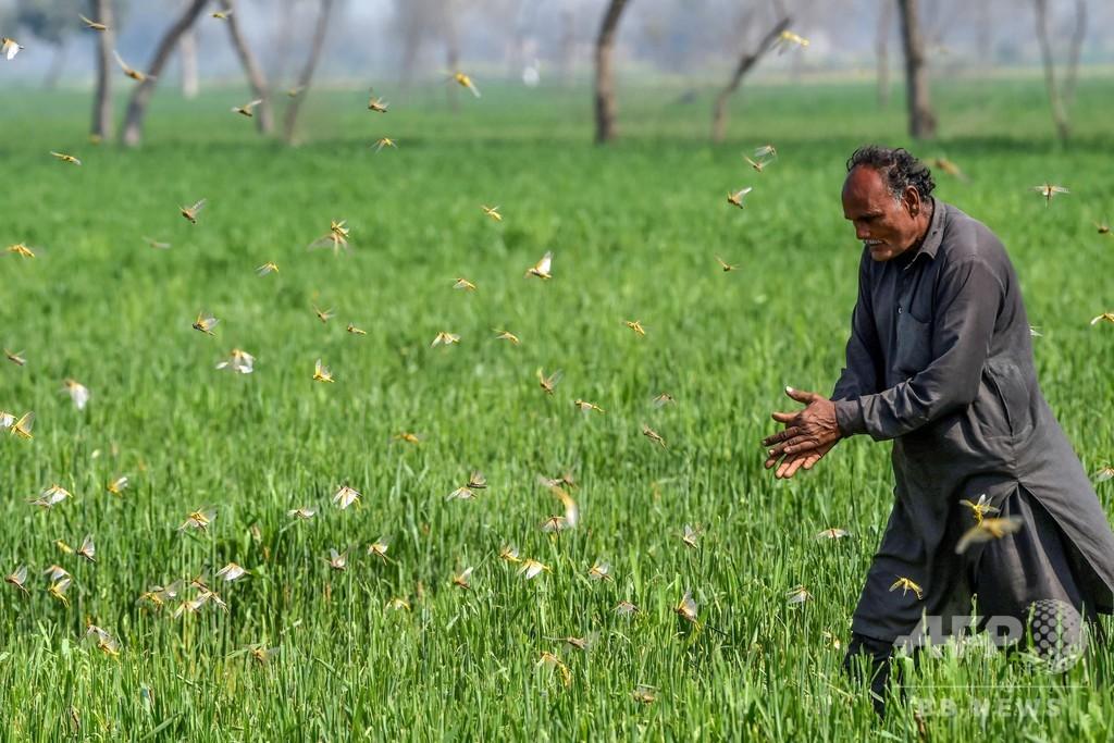 パキスタンでバッタ大量発生 過去30年で最悪の作物被害