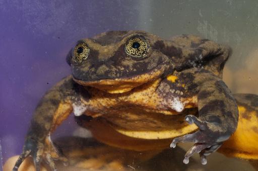 独りぼっちの雄カエル「ロミオ」に大きな愛、募金265万円