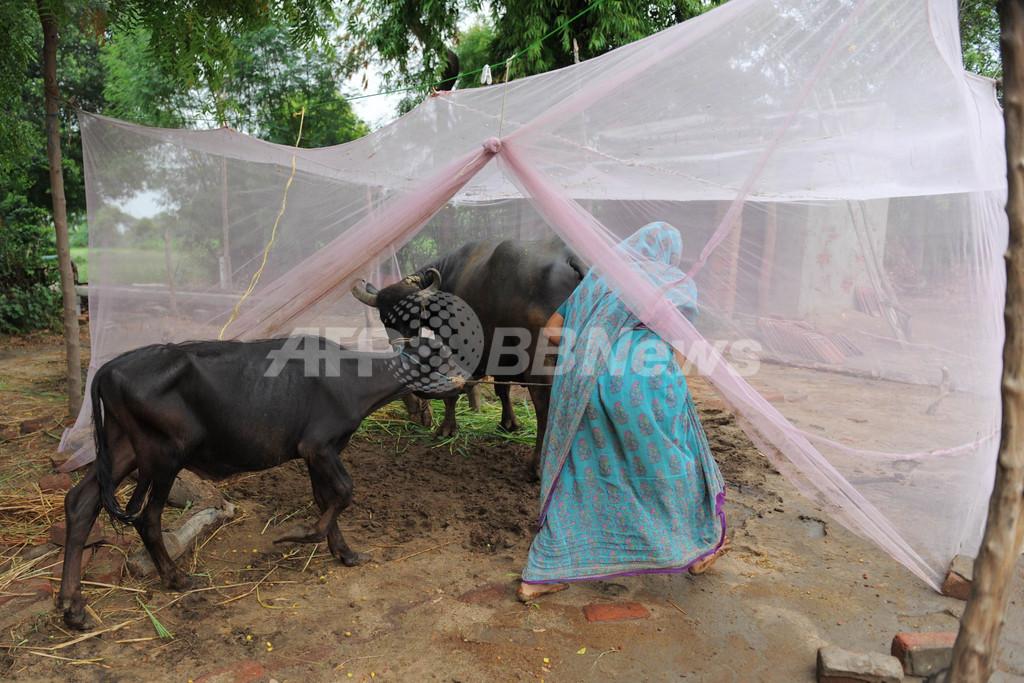箱入りならぬ「蚊帳入り」育ち、インドの水牛