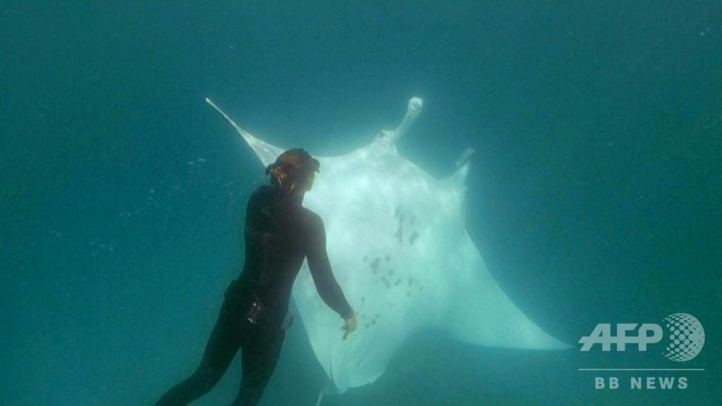 巨大マンタがダイバーに「助けて」、釣り針を抜いてもらう 豪西海岸