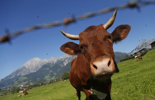 「牛にキス」は危険、ネットの募金活動にオーストリア政府が警鐘