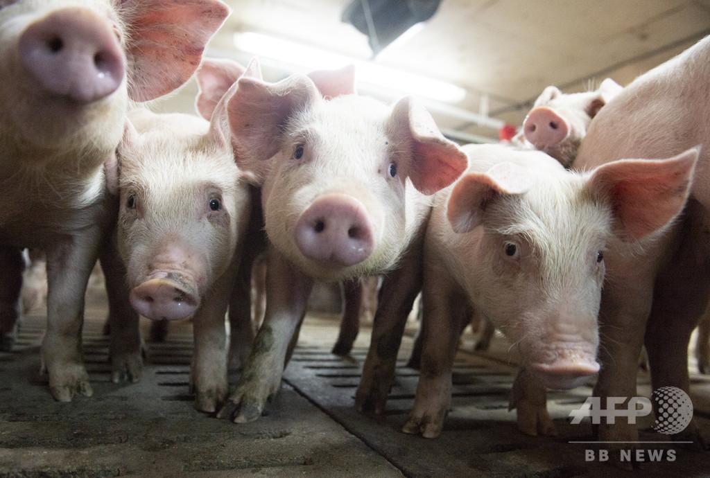 アフリカ豚コレラの感染豚、死骸が台湾に漂着 FAO報告書