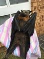 猛暑のオーストラリアでコウモリが大量死、脳が過熱