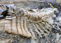 恐竜の尻尾の化石、完全な形で発見 メキシコ