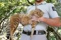 仏コルシカ島で「キツネネコ」捕獲?当局は新種と主張