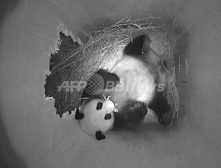 ウィーンの動物園でパンダが出産、自然妊娠は欧州2例目