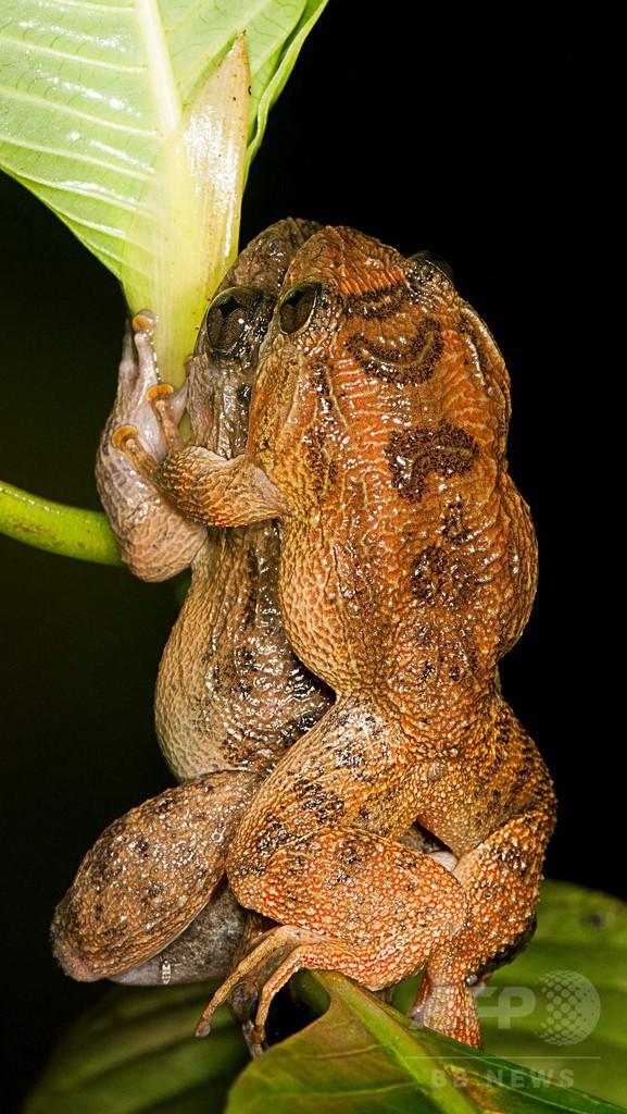 カエルの特異な交尾、体に触れない「7番目の体位」 研究